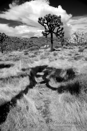 2006 Joshua Tree Shadow B&W.jpg