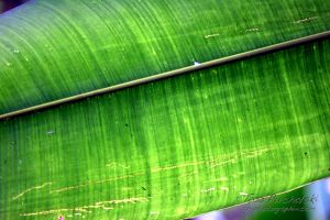 2007 Electric Banana Leaf 2 - Panama.jpg