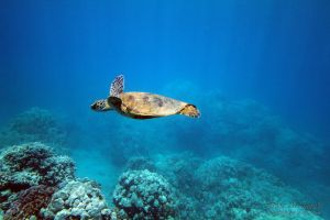 2011-10-18 HI Beach 69-Turtles_0114.jpg