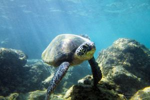 2011-10-18 HI Beach 69-Turtles_0210.jpg