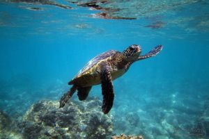 2011-10-18 HI Beach 69-Turtles_0366.jpg